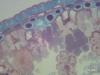 "Pine Leaf ""Cs"" (400x) -a"