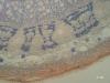 """Tige de Tilia de deux ans """"Ct"""" (x100) -c"""