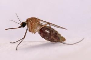 Anopheles gambiae; Malaria vector mosquito