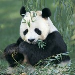 New Antibiotic Discovered in Pandas