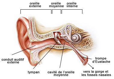 Oreille externe et interne