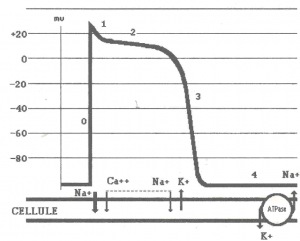 Action potential non-automatic cardiac cells
