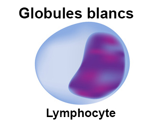 Globule blanc - Lymphocyte - Lymphopénie