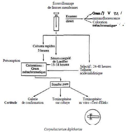 SCHÉMA 2 : méthodes d'isolement et d'identification de corynebacterium diphteriae à partir d'une gorge