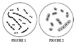Figure pneumococcus