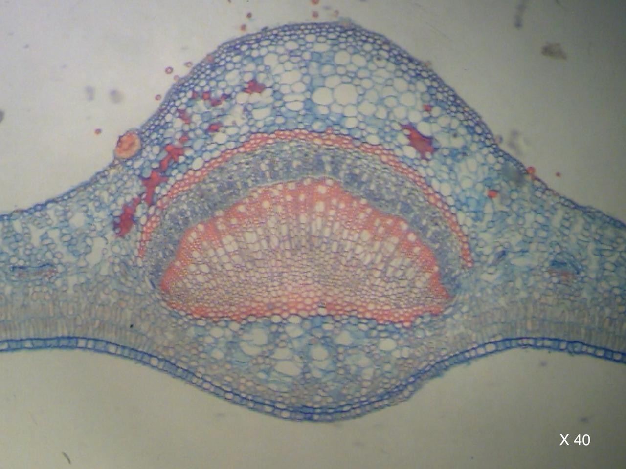 Fougère coupe microscopique