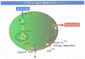 Régulation de la sécrétion d'insuline par le glucose