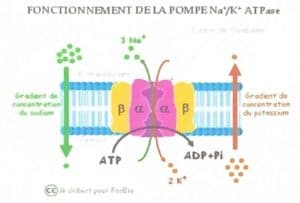 How the NA + / K + ATPase works
