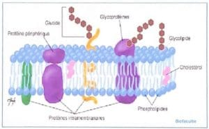 Glucides, (oses) - 2