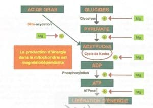 Energy production in the mitochondria is magnesiodependent