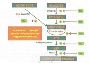 La production d'énergie dans la mitochondrie est magnésiodépendante