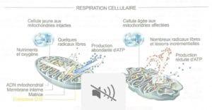Respiration Cellulaire
