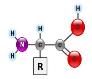 Leucine - Isoleucine - Valine : acides aminés branchés